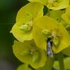 Green Longhorn, Adela reaumurella 0616