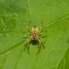 Cucumber Green Spider, Araniella cucurbitina 0725