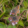 Brown Argus courting pair, Aricia agestis 2405