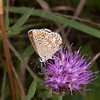 Brown Argus, Aricia agestis 2381