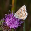 Brown Argus, Aricia agestis 2384