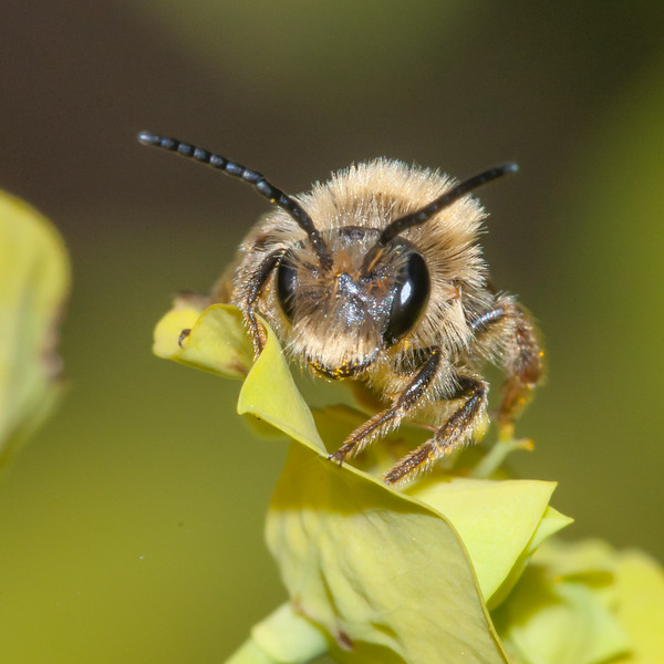Early Mining Bee, male, Andrena haemorrhoa 9964