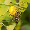 Crab Spider, Misumena vatia with Hoverfly, Syrphus ribesii 9942