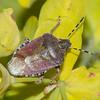 Hairy Shieldbug, Dolycoris baccarum 9963