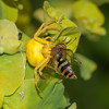 Crab Spider, Misumena vatia with Hoverfly, Syrphus ribesii 9952