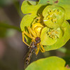 Crab Spider, Misumena vatia with Hoverfly, Syrphus ribesii 9957