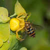 Crab Spider, Misumena vatia with Hoverfly, Syrphus ribesii 9951