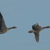 Greylag Geese, Anser anser 3879