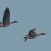 Greylag Geese, Anser anser 3881