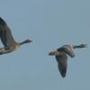 Greylag Geese, Anser anser 3880