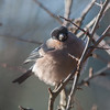 Bullfinch, Pyrrhula pyrrhula 3918