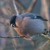 Bullfinch, female, Pyrrhula pyrrhula 3907