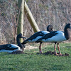 Magpie Geese, Anseranas semipalmata 3940