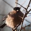 Bullfinch, Pyrrhula pyrrhula 3920