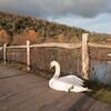 Mute Swan, Cygnus olor, Arundel WWT 8808