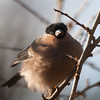 Bullfinch, Pyrrhula pyrrhula 3922