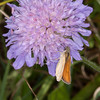 Essex Skipper, Thymelicus lineola 0526