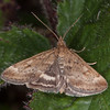 Straw-barred Pearl, Pyrausta despicata 0413
