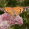 Painted Lady, Vanessa cardui 0473