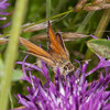 Essex Skipper, Thymelicus lineola 0546
