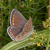 Common Blue, female, Polyommatus icarus 0533
