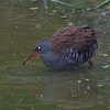 Water Rail, Rallus aquaticus at Woods Mill 0564
