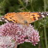 Painted Lady, Vanessa cardui 0472