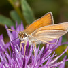 Essex Skipper, Thymelicus lineola 0424