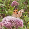 Painted Lady, Vanessa cardui 0456