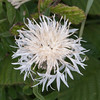 Greater Knapweed, Centaurea scabiosa 0509