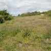 Wild Marjoram, Origanum vulgare at Mill Hill 9739