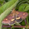 Small Purple and Gold, Pyrausta aurata 0436