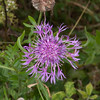 Greater Knapweed, Centaurea scabiosa 0513