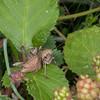 Dark Bush Cricket, female, Pholidoptera griseoaptera 0409