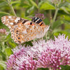 Painted Lady, Vanessa cardui 0459