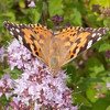 Painted Lady, Vanessa cardui 0432