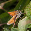 Essex Skipper, Thymelicus lineola 0527
