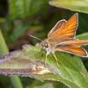 Essex Skipper, Thymelicus lineola 0548