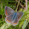 Common Blue, female, Polyommatus icarus 0530