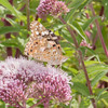 Painted Lady, Vanessa cardui 0455