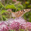 Painted Lady, Vanessa cardui 0461