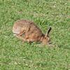 Brown Hare, Lepus europaeus 8179