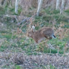 Brown Hare, Lepus europaeus 8349