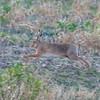 Brown Hare, Lepus europaeus 8346