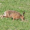 Brown Hare, Lepus europaeus 8178