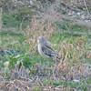 Short-eared Owl, Asio flammeus 8352