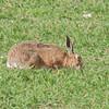 Brown Hare, Lepus europaeus 8168