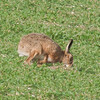 Brown Hare, Lepus europaeus 8180