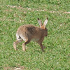 Brown Hare, Lepus europaeus 8188