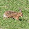 Brown Hare, Lepus europaeus 8177